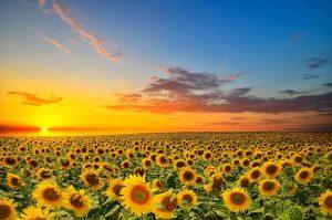 sunet-over-sunflowers